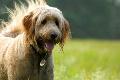 Golden Doodle Dog Enjoying a Walk. A happy muddy wet golden doodle dog enjoying an off-leash walk in a field on a sunny day Stock Photo