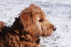 Goldendoodle Gazing at Snow Royalty Free Stock Photo