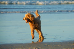 Goldendoodle Royalty Free Stock Photography