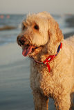 A Goldendoodle on his first trip to the beach in Hilton Head, South Carolina. Stock Photo