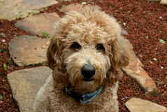 Goldendoodle-Hund auf Steinweg Stockfoto