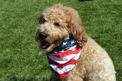 Goldendoodle-Hund, der patriotischen Bandana trägt Stockfoto