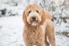 Goldendoodle i snö Arkivbilder