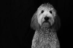 Goldendoodle i studio Royaltyfri Foto