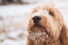 Goldendoodle im Schnee Stockbilder
