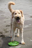 Goldendoodle jouant en sable Photographie stock libre de droits