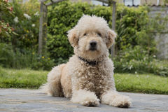 Goldendoodle laying in the garden stock photos