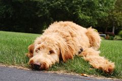 Goldendoodle Laying in Grass. Apricot colored goldendoodle puppy, laying in grass on warm summer day stock photo