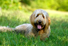 Goldendoodle Lying in the Grass Royalty Free Stock Images