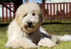 Goldendoodle na grama Fotos de Stock Royalty Free