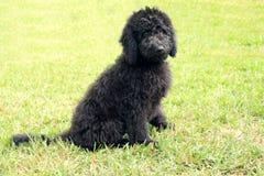 Goldendoodle negro Imagen de archivo