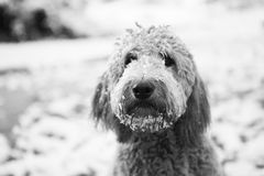 Goldendoodle in neve Fotografia Stock