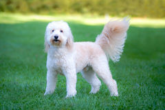 Goldendoodle Stock Photography