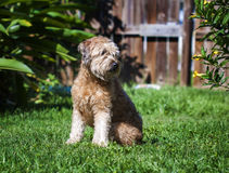 Goldendoodle Stock Image