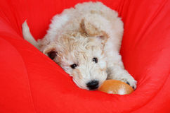 Goldendoodle pup playing Royalty Free Stock Image