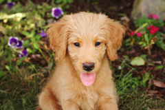 Goldendoodle Puppy royalty free stock photos