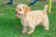 Goldendoodle puppy dog walks outdoors on a green lawn royalty free stock photos