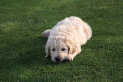 Goldendoodle Puppy Dog on Grass Stock Image