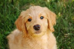 Goldendoodle Puppy Gazing Royalty Free Stock Images