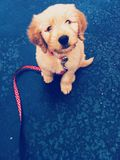 Goldendoodle puppy Stock Photography