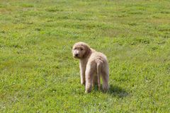 Goldendoodle Puppy Looking Over His Shoulder on Grassy Field Stock Photography