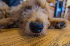 Goldendoodle Puppy Nose While Sleeping Royalty Free Stock Photo