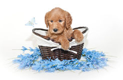 Pretty Golden-doodle Puppy Stock Photo