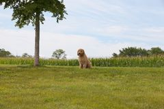 Goldendoodle Puppy Sitting on a Grass Field Royalty Free Stock Images