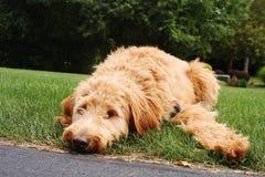 Goldendoodle s'étendant dans l'herbe photo stock