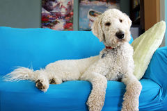 Goldendoodle on sofa. Goldendoodle dog resting on couch Stock Image