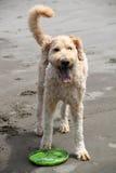 Goldendoodle som spelar i sand Royaltyfri Fotografi