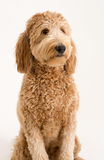 Goldendoodle in studio Royalty-vrije Stock Afbeeldingen