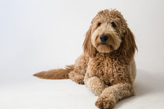 Goldendoodle in studio Stock Afbeelding