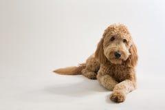 Goldendoodle in studio Fotografia Stock Libera da Diritti