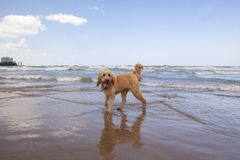 Goldendoodle wymieniał Odrewniałego na jezioro michigan brzeg zdjęcie stock