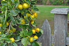 Goldene Äpfel bereit zur Ernte Lizenzfreie Stockfotos
