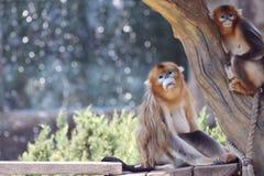 Goldene Affefamilie Lizenzfreie Stockbilder