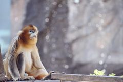 Goldene Affemutter Stockfoto