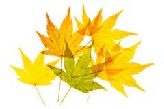 Goldene Ahornblätter stockfotos
