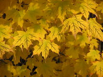 Goldene Ahornblätter Lizenzfreie Stockfotos