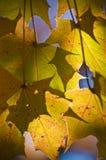 Goldene Ahornblätter im Sonnenlicht. Stockfotos