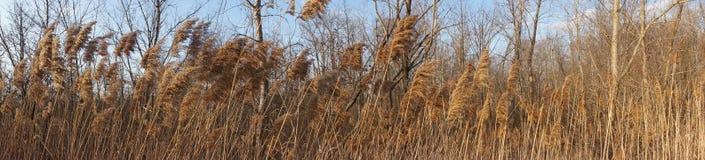 Goldene Anlagen, die in breitem panoramischem des Winds sehr durchbrennen Stockbild
