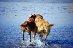 Goldene Apportierhunde Lizenzfreies Stockfoto