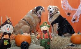 Goldene Apportierhunde oben gekleidet für Halloween   Stockfotografie