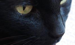 Goldene Augen- und weißebärte lizenzfreie stockfotos