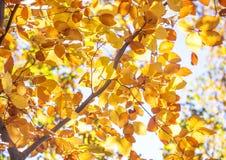 Goldene Autumn Foliage-Buche Lizenzfreie Stockfotografie