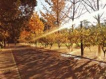 Goldene Bäume des Falles Stockfoto