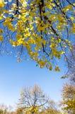 Goldene Bäume an einem sonnigen Herbsttag Lizenzfreies Stockfoto