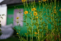 Goldene Ballblumen stockbild