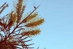 Goldene Banksiablume auf blauer Himmel Weinlese-Art Lizenzfreies Stockfoto